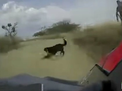 VIDEO: Noivils Meksikas WRC par mata tiesu izvairās no sadursmes ar suni